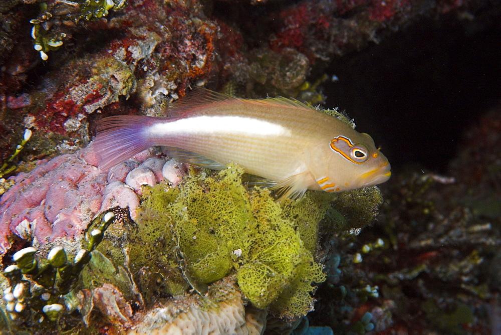 Arc-eye hawkfish (Paracirrhites arcatus) perched on algae (Microdyction sp.),  Ailuk atoll, Marshall Islands, Pacific