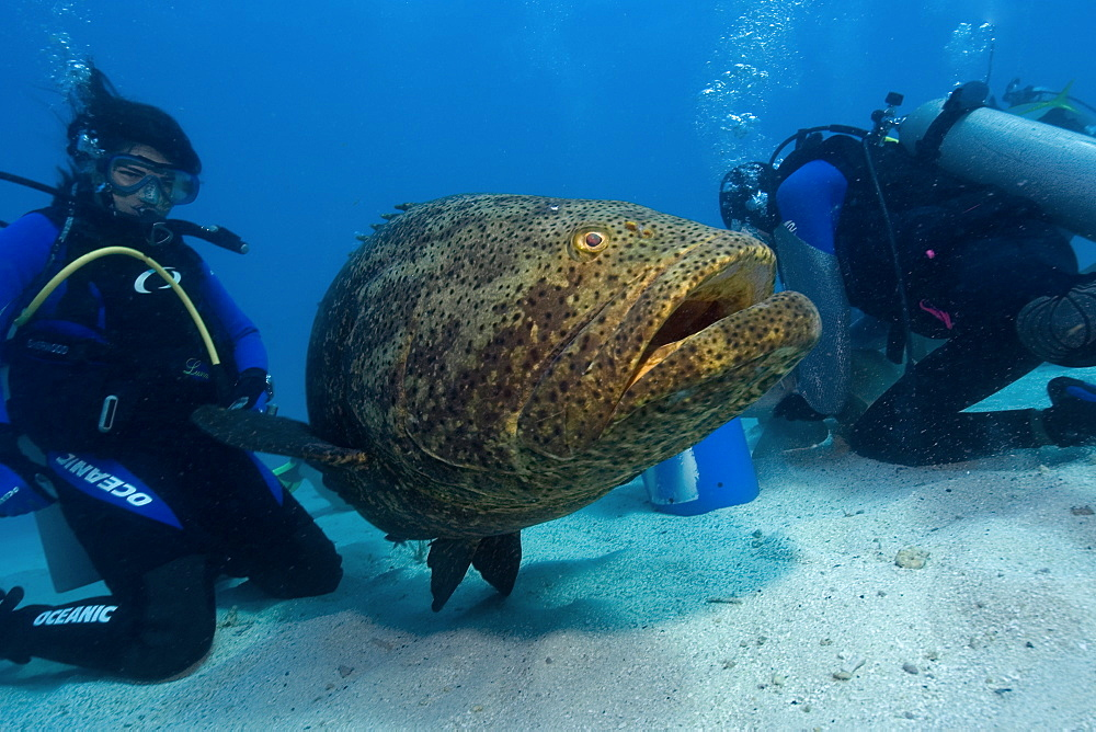 Goliath grouper (Epinephelus itajara) observed by diver,  Molasses Reef, Key Largo, Florida, United States of America, North America