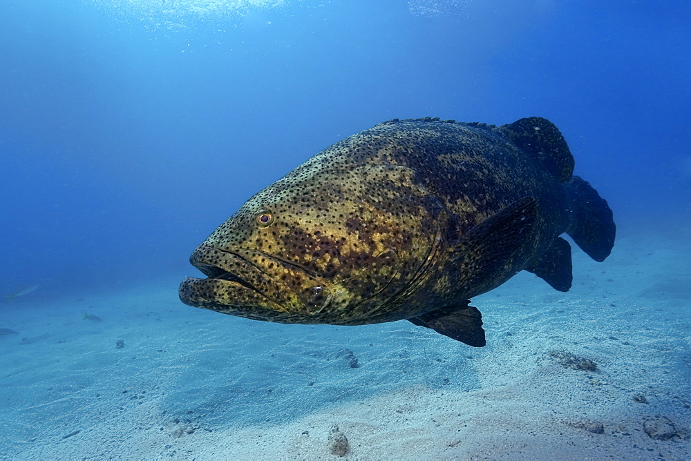 Goliath grouper (Epinephelus itajara), Molasses Reef, Key Largo, Florida, United States of America, North America