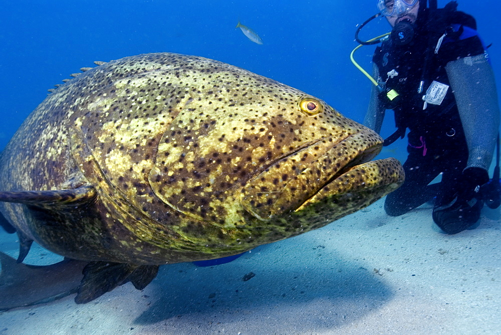 Goliath grouper (Epinephelus itajara) and shark diver,  Molasses Reef, Key Largo, Florida, United States of America, North America