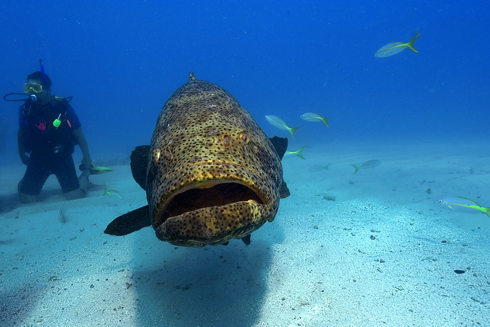Goliath grouper (Epinephelus itajara) and diver, Molasses Reef, Key Largo, Florida, United States of America, North America