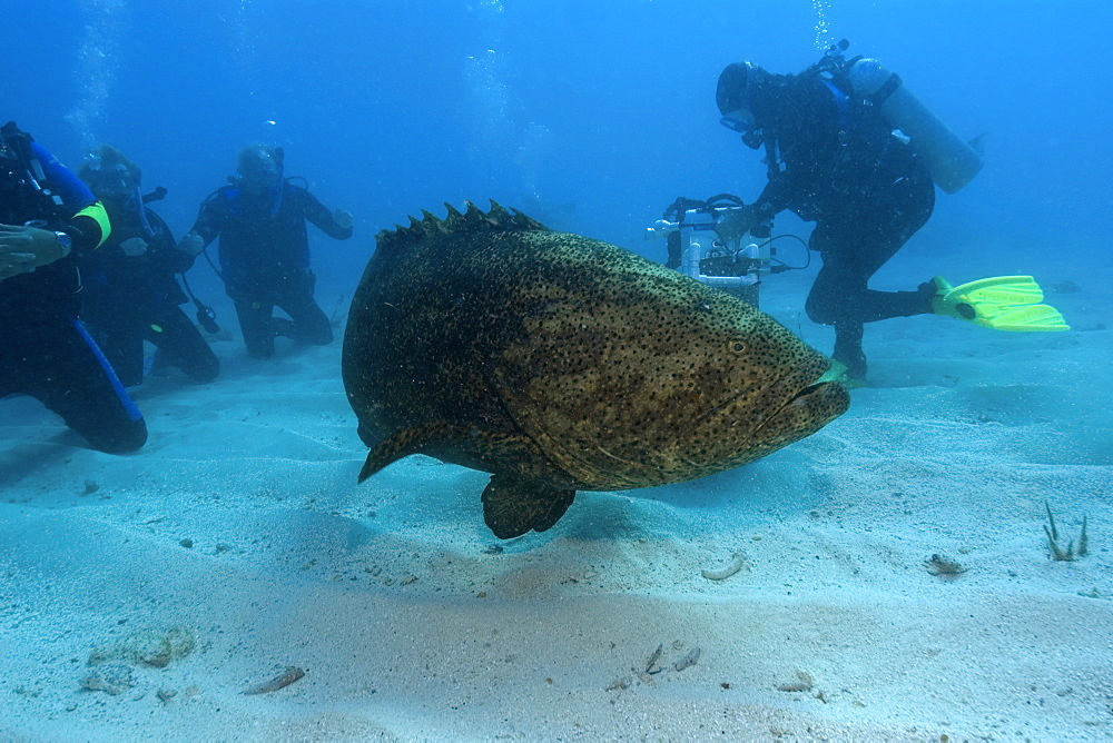 Goliath grouper (Epinephelus itajara) and divers, Molasses Reef, Key Largo, Florida, United States of America, North America