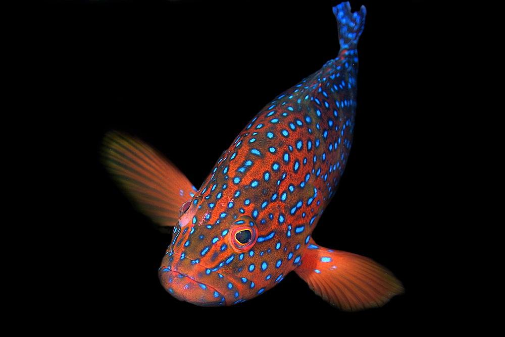 Coral grouper (Cephalopholis miniata), Sabang wreck, Puerto Galera, Mindoro, Philippines, Southeast Asia, Asia