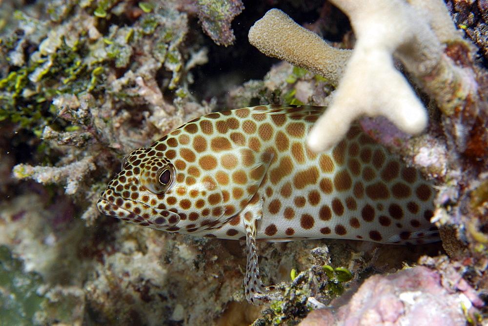 Honeycomb grouper (Epinephelus merra), Ailuk atoll, Marshall Islands, Pacific