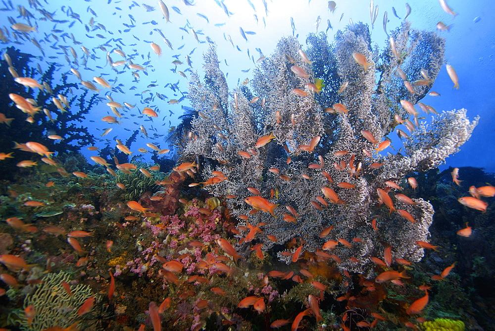 Thousands of scalefin anthias (Pseudanthias squamipinnis) and sea fan, possibly Plexauridae, Puerto Galera, Mindoro, Philippines, Southeast Asia, Asia