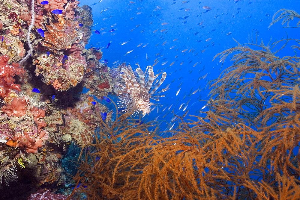 Lionfish, Pterois volitans, and soft coral, Rumphella sp., and frame silhouette, Shinkoku Maru shipwreck, Truk lagoon, Chuuk, Federated States of Micronesia, Caroline Islands, Micronesia, Pacific Ocean, Pacific