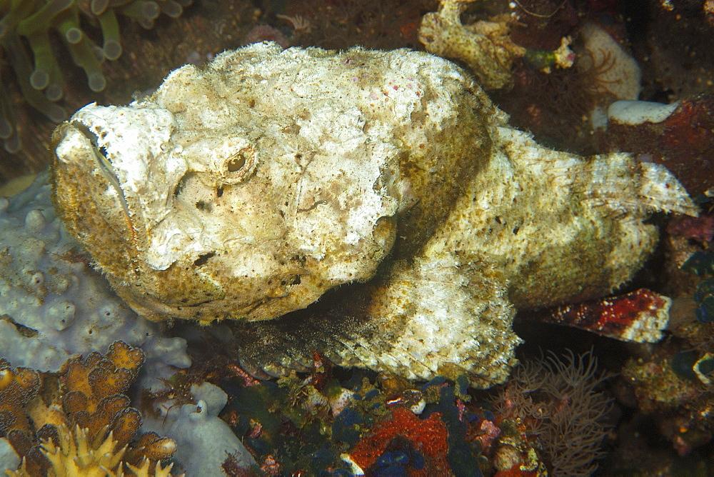 Devil scorpionfish (Scorpaenopsis diabolus), head detail, Dauin, Negros, Philippines, Southeast Asia, Asia