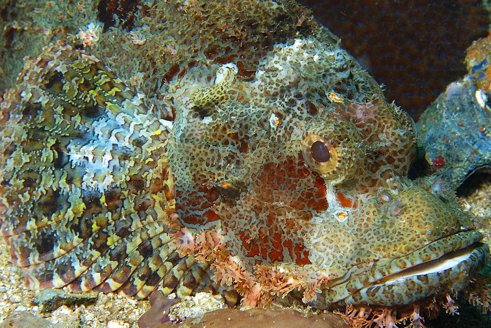 Poss's Scorpionfish (Scorpaenopsis possi), head detail, Gato Island, Cebu, Philippines, Southeast Asia, Asia