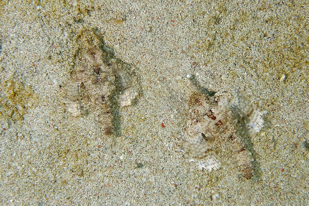 Pair of pegasus fish (dragon sea moth) (Eurypegasus draconis) on sandy bottom, Puerto Galera, Mindoro, Philippines, Southeast Asia, Asia