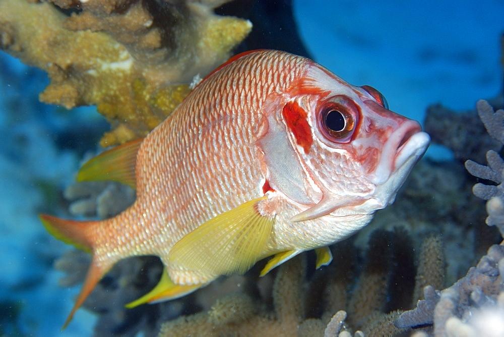 Sabre squirrelfish (Sargocentron spiniferum), Rongelap, Marshall Islands, Micronesia, Pacific