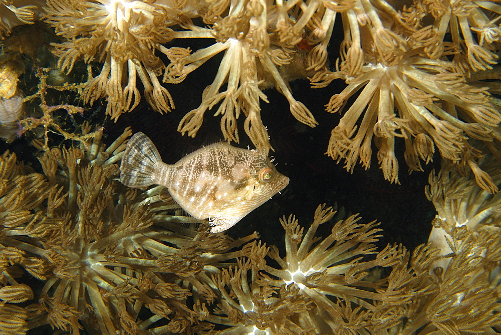 Radial filefish (Acreichthys radiatus) among flower soft corals ( Xenia sp.), Puerto Galera, Mindoro, Philippines, Southeast Asia, Asia