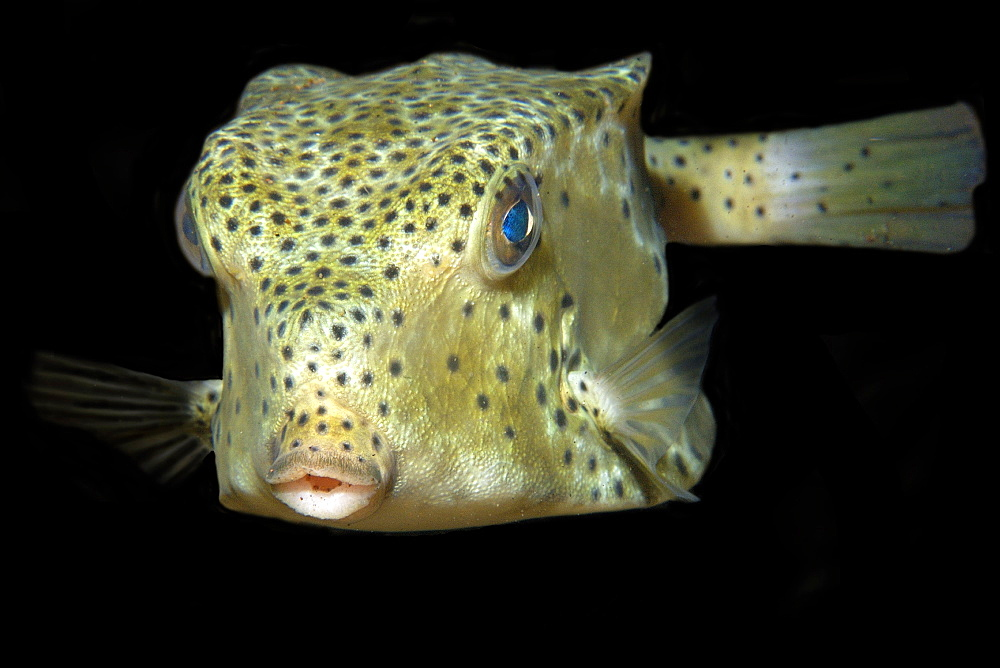 Shortnose boxfish (Rhynchostracion nasus) at night, Dumaguete, Negros Island, Philippines, Southeast Asia, Asia