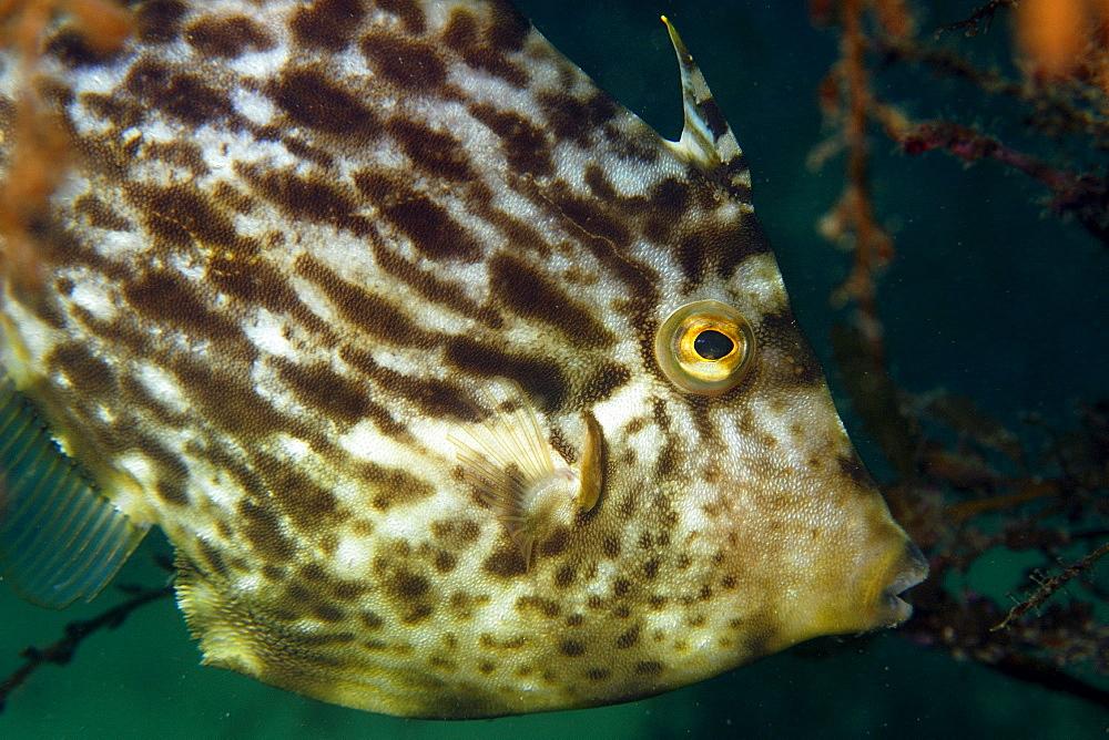 Thread-sail filefish (Stephanolepis cirrhifer), Seopsom island, Jeju-Do, South Korea, East Sea, Asia