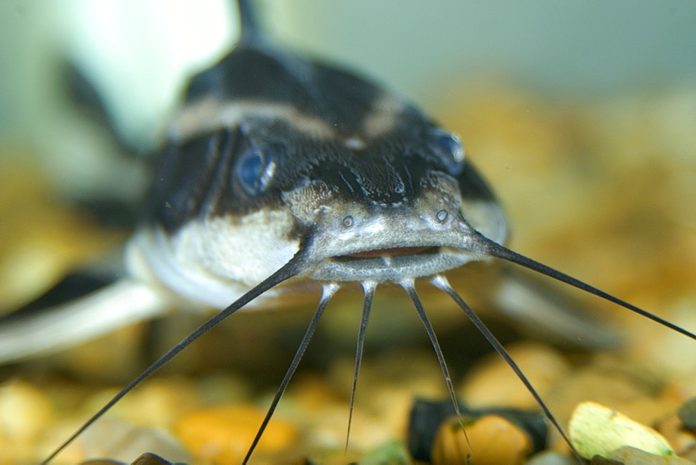 Freshwater catfish (Tatia sp.), Mamiraua sustainable development reserve, Amazonas, Brazil, South America
