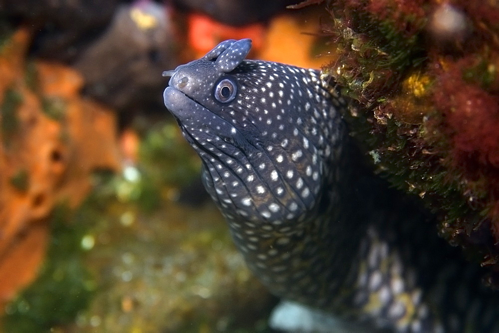 Moray eel (Muraena pavonina), St. Peter and St. Paul's rocks, Brazil, South America