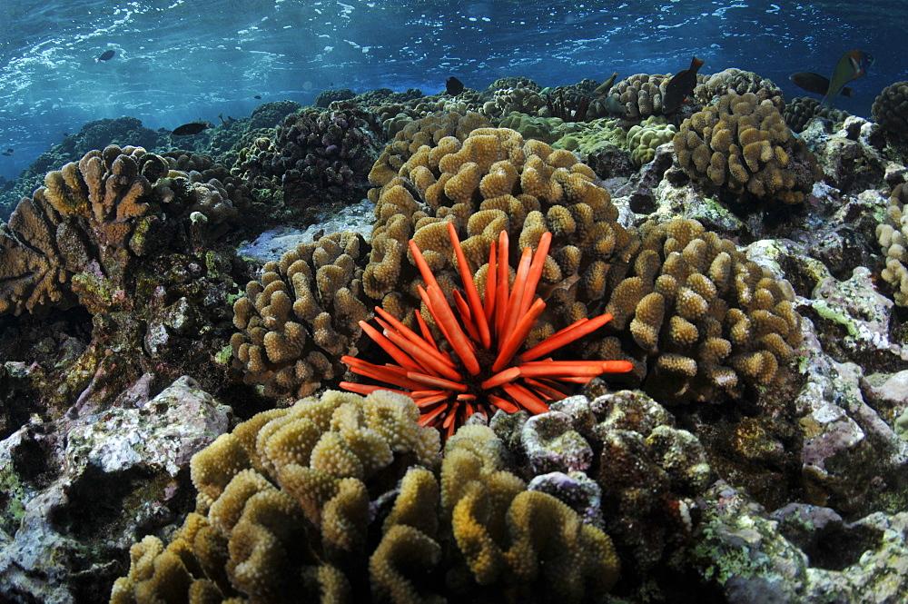 Red pencil sea urchin (Heterocentrotus mammillatus), Molokini crater, Maui, Hawaii, United States of America, Pacific