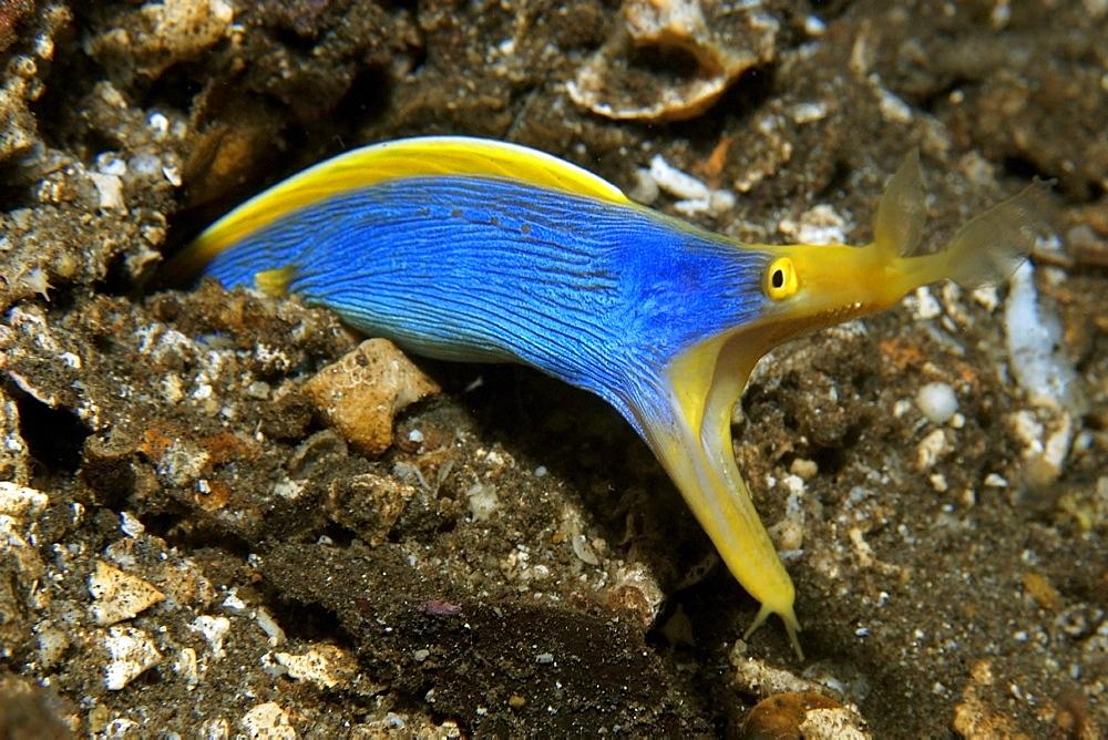 Ribbon eel (Rhinomuraena quaesita), Atlantis house reef, Dumaguete, Negros Island, Philippines, Southeast Asia, Asia
