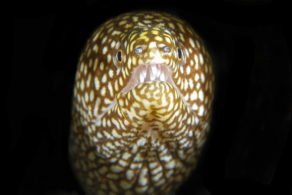 Whitemouth moray (Gymnothorax meleagris), Namu Atoll, Marshall Islands, Micronesia, Pacific Ocean, Pacific