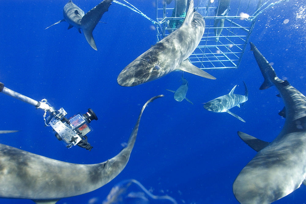 Remote underwater video camera records cage diving with Galapagos sharks (Carcharhinus galapagensis), North shore, Oahu, Hawaii, United States of America, Pacific