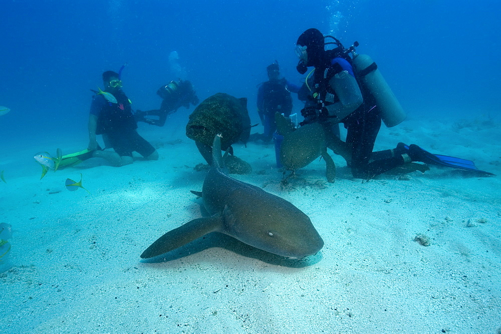 Scuba divers observe nurse sharks (Ginglymostoma cirratum), Molasses Reef, Key Largo, Florida, United States of America, North America