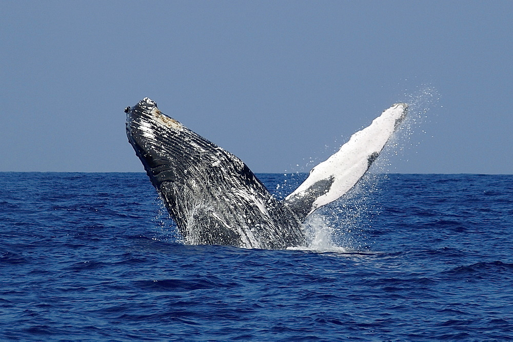 Humpback whale (Megaptera novaeangliae) breaching, Kailua-Kona, Big Island, Hawaii, United States of America, Pacific