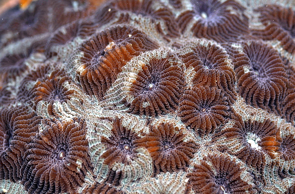 Hard coral (Montastrea sp.), Pohnpei, Federated States of Micronesia, Caroline Islands, Micronesia, Pacific Ocean, Pacific