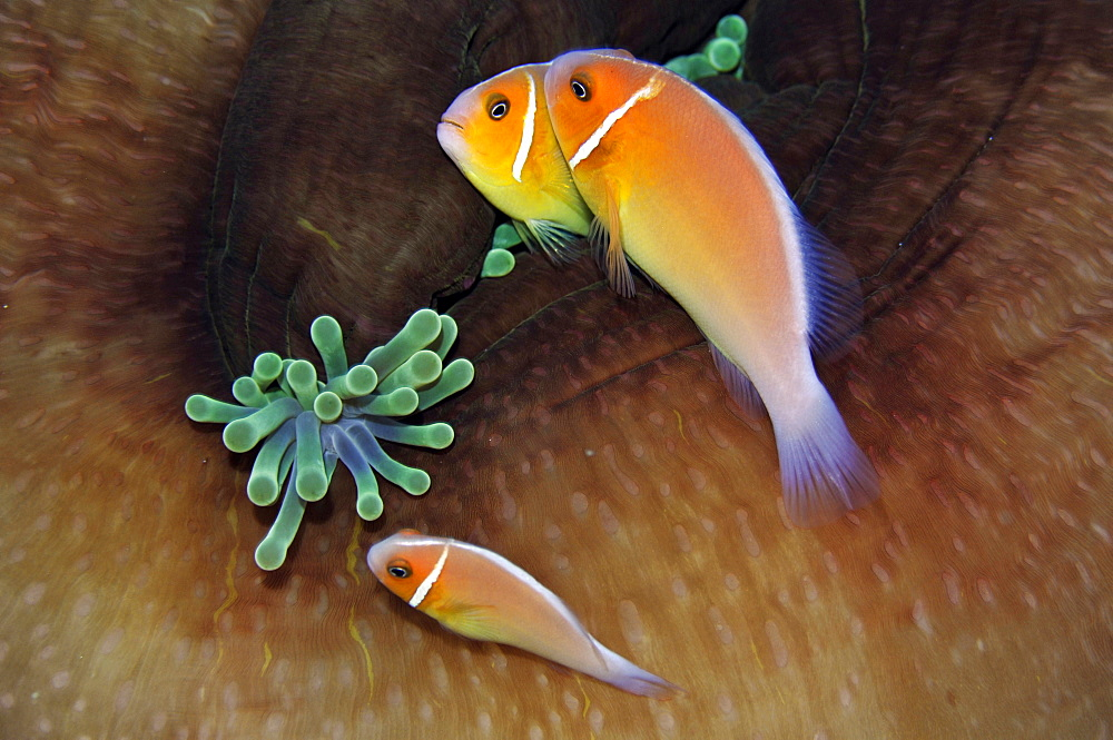 Three pink anemonefish (Amphiprion periderion) share the same host anemone, Pohnpei, Federated States of Micronesia, Caroline Islands, Micronesia, Pacific Ocean, Pacific