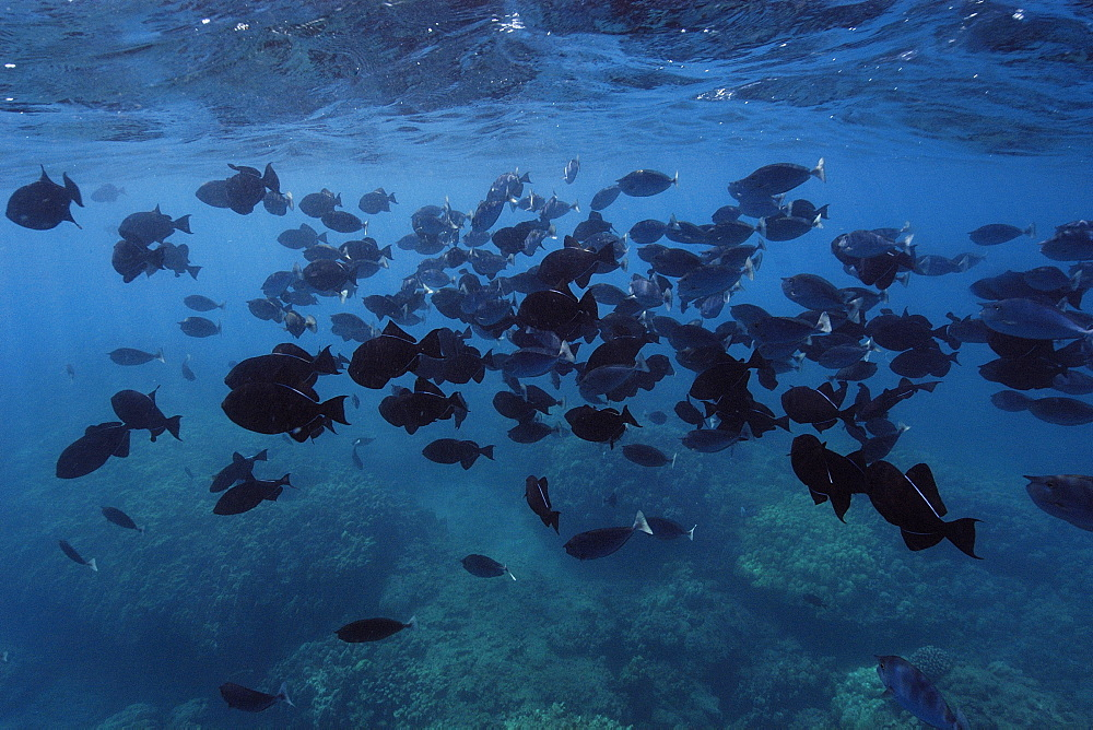 Large school of black triggerfish (Melichthys niger), Hanauma Bay, Oahu, Hawaii, United States of America, Pacific