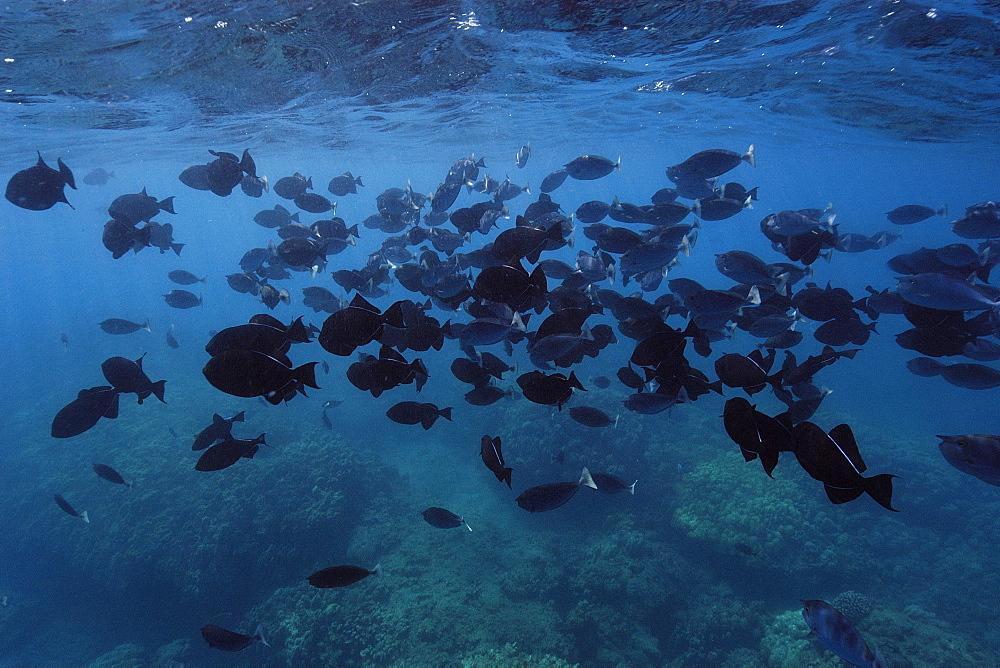 Large school of black triggerfish (Melichthys niger), Hanauma Bay, Oahu, Hawaii, United States of America, Pacific