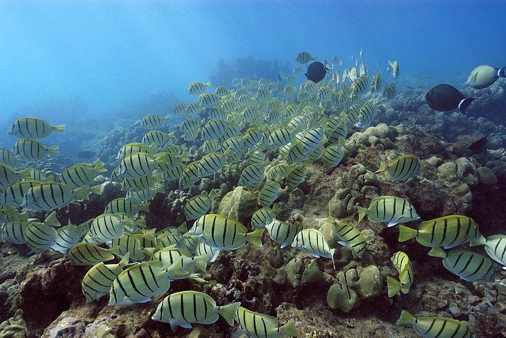 Convict tangs (manini) (Acanthurus triostegus) schooling and grazing, Hanauma Bay, Oahu, Hawaii, United States of America, Pacific