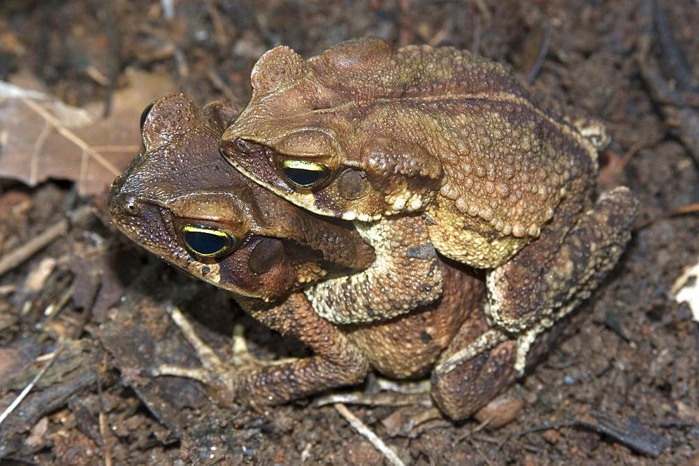 Frog (Chaunus (Bufo) crucifer) copulating with female in captivity, Herpetology laboratory at University of Sao Paulo, Sao Paulo, Brazil, South America