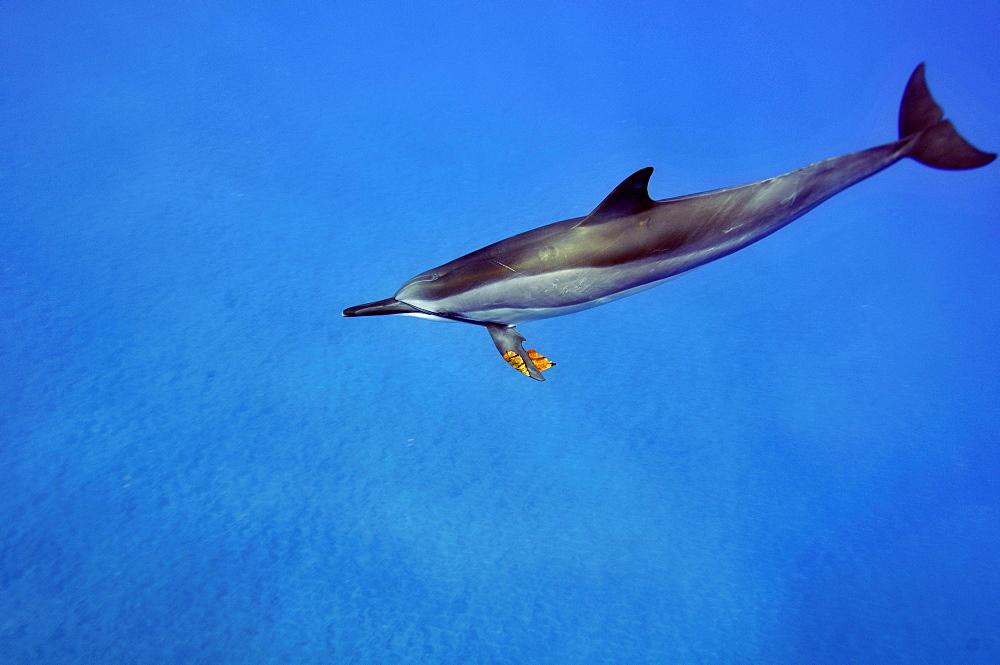 Spinner dolphin (Stenella longirostris) playing with leaf, Kealakekua Bay, Captain Kook, Big Island, Hawaii, United States of America, Pacific