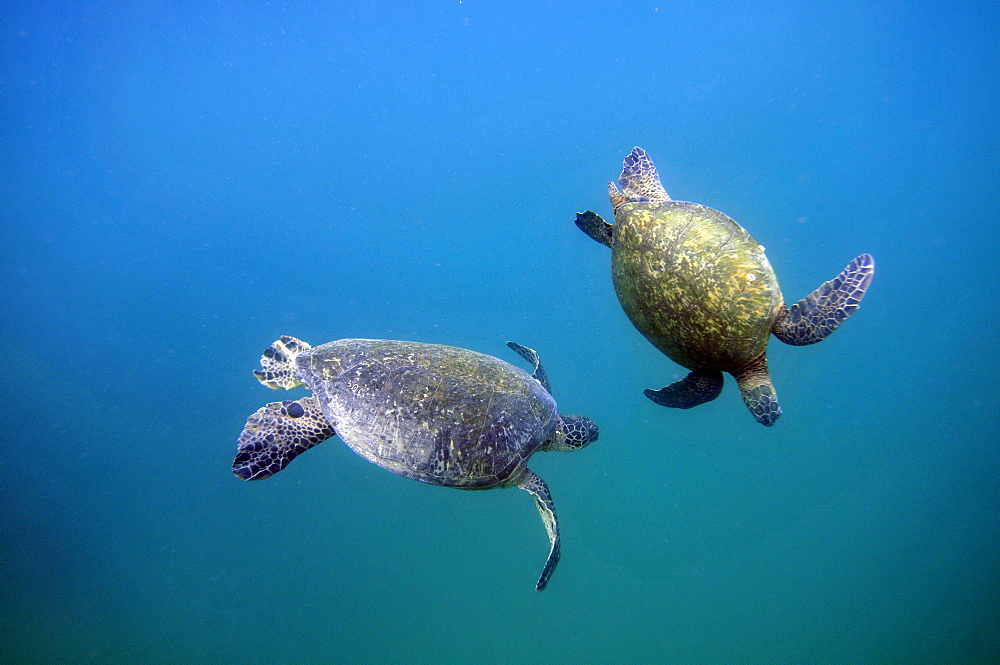 Green Sea Turtle (Chelonia mydas) mating ritual, Kaneohe Bay, Oahu, Hawaii, United States of America, Pacific