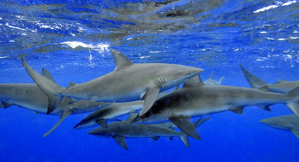 Galapagos sharks (Carcharhinus galapagensis), North Shore, Hawaii, United States of America, Pacific