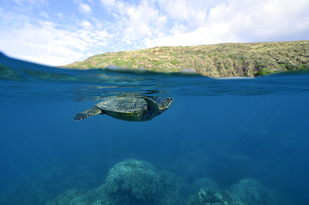 Green Sea Turtle (Chelonia mydas) approaches the surface before taking next breath, Hanauma Bay, Oahu, Hawaii, United States of America, Pacific - 920-476