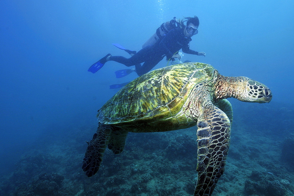 Scuba diver observes resting green sea turtle (Chelonia mydas) at Turtle Alley, Waikiki, Oahu, Hawaii, United States of America, Pacific