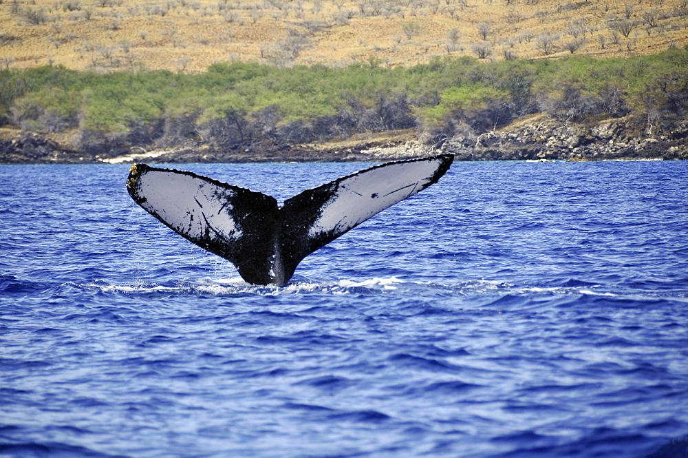 Humpback whale (Megaptera novaeangliae) tail, Waimea-Kohala, Big Island, Hawaii, United States of America, Pacific