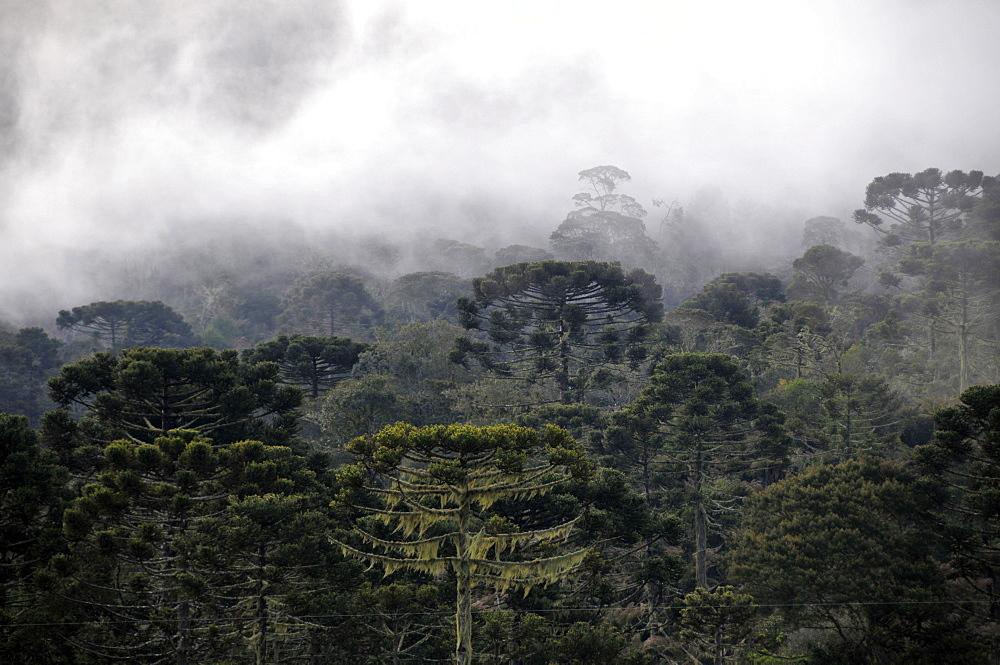 Forest of Parana pines (candelabra trees) (Araucaria angustifolia), and clouds, Sao Joaquim National Park, Morro da Pedra Furada highlands, Santa Catarina, Brazil, South America