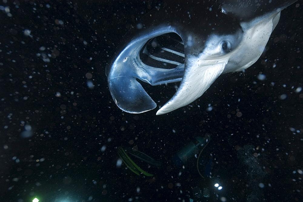 Manta ray (Manta birostris) feeding at night, Kailua-Kona, Big Island, Hawaii, United States of America, Pacific