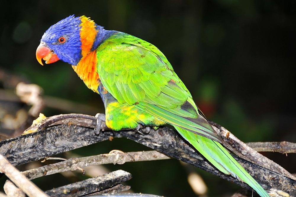 Rainbow lorikeet (Trichoglossus haematodus moluccanus), native to Australasia, Parque das Aves, Foz do Iguaµu, Parana, Brazil, South America - 920-732