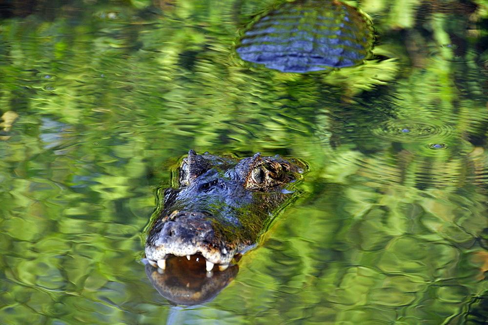 Pantanal caimans (Caiman crocodilus yacare), San Francisco Ranch, Miranda, Mato Grosso do Sul, Brazil, South America