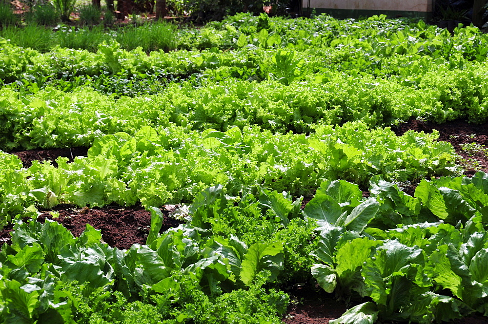 Fresh lettuce grown at Rio da Prata's farm, Bonito, Mato Grosso do Sul, Brazil, South America