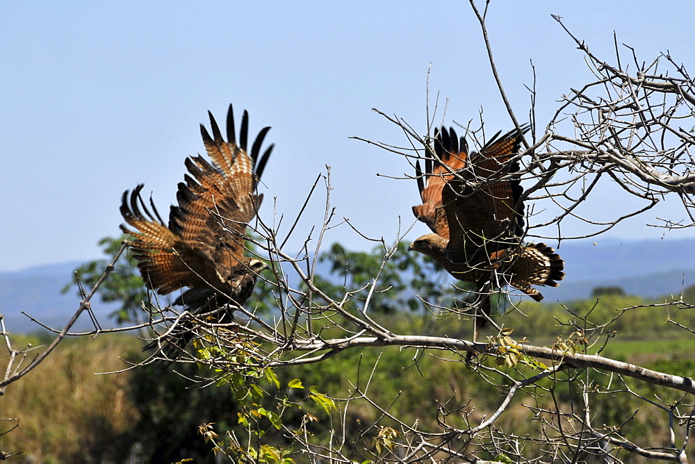 Savanna hawk (Heterospizias meridionalis) charging at each other, Miranda, Pantanal, Mato Grosso do Sul, Brazil, South America