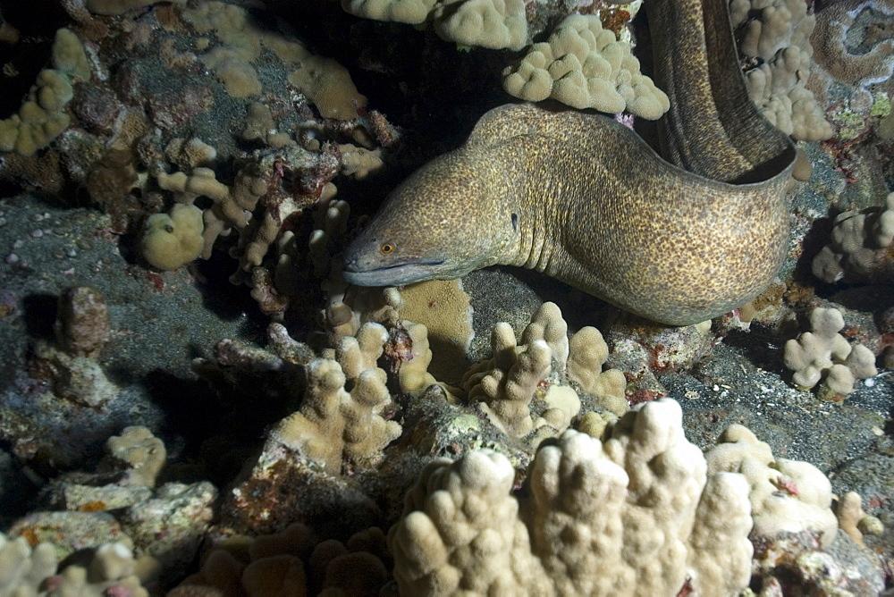 Giant moray (Gymnothorax javanicus), Kona, Big Island, Hawaii, United States of America, Pacific