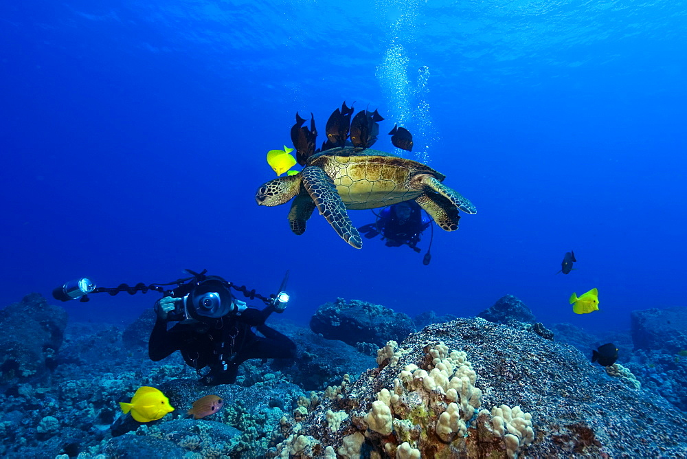 Underwater  photographer Masa Ushioda and Green sea turtle (Chelonia mydas) getting cleaned by yellow tangs (Zebrasoma flavescens) and lined bristletooth (Ctenochaetus striatus), Kailua-Kona, Hawaii, United States of America, Pacific