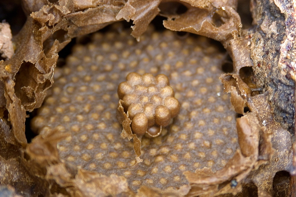 Stingless bee colony of Melipona bicolor at University of Vicosa, Vicosa, Minas Gerais, Brazil, South America