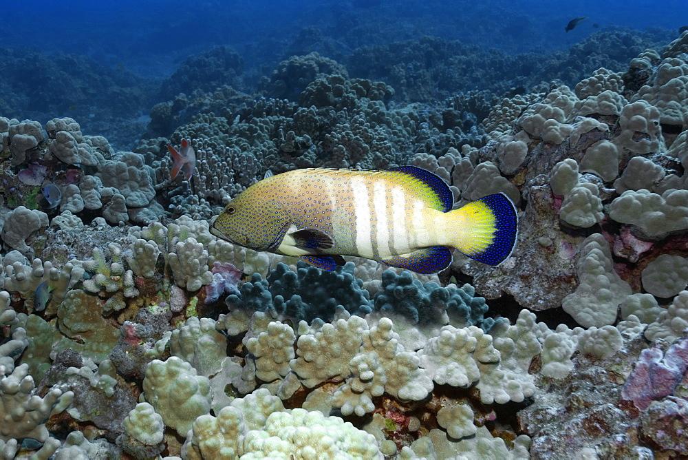 Peacock grouper (Cephalopholis argus), Kailua-Kona, Hawaii, United States of America, Pacific