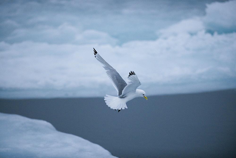 Kittywake (Larus tridactyla). Longyearbyen, Moffen Islands, South ice sheets, Svalbard, Norway        (rr)