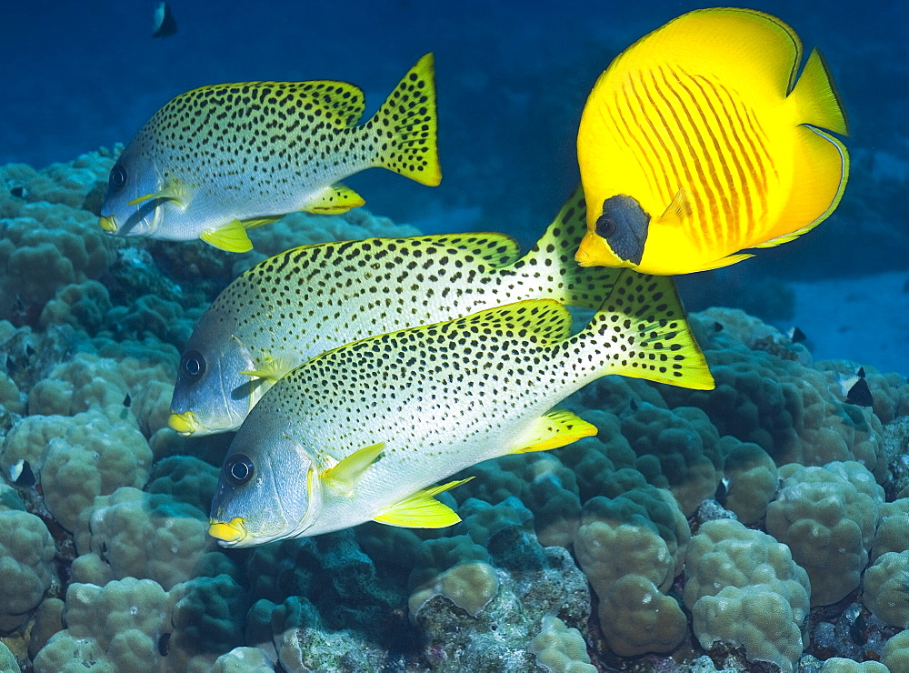 (left side) Blackspotted sweetlips (Plectorhinchus Gaterinus), (right side) Masked Butterflyfish (Chaetodon Semilarvatus) Under water , diving, Hurghada, Red Sea, Egypt, Africa.