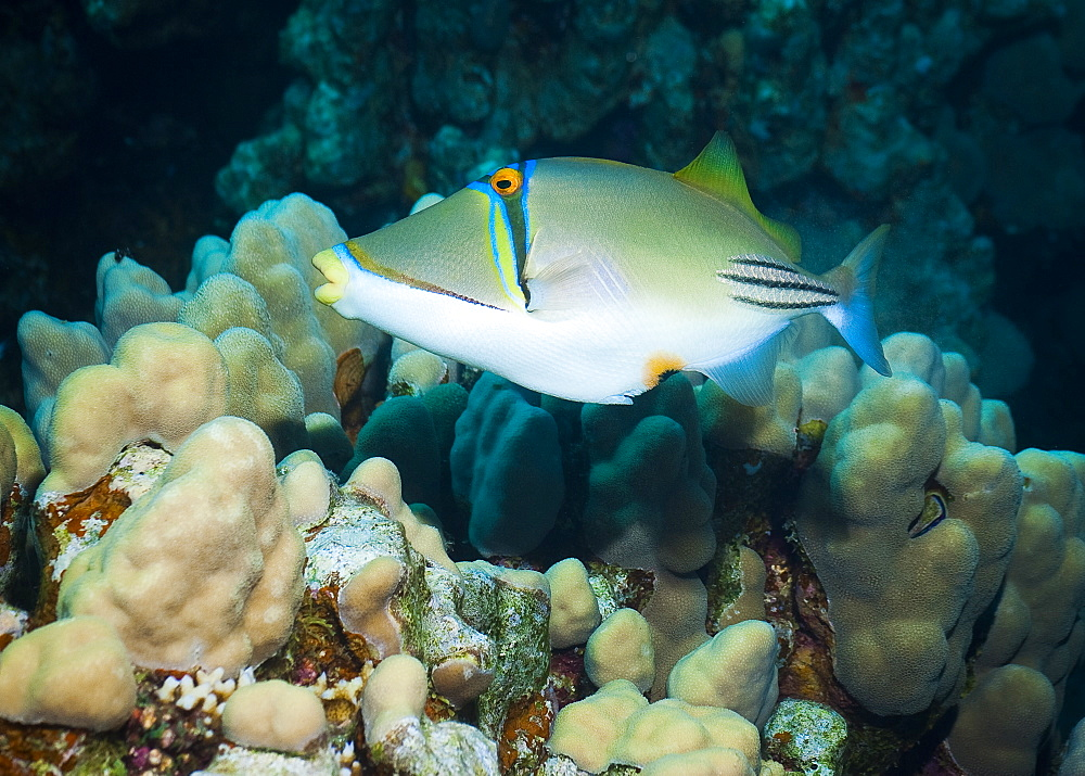 Picassofish (Rhinecanthus Assasi) Under water , diving, Hurghada, Red Sea, Egypt, Africa.